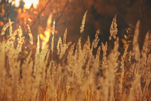 ears-of-corn-field-sun-light-gold-fall-landscape-nature
